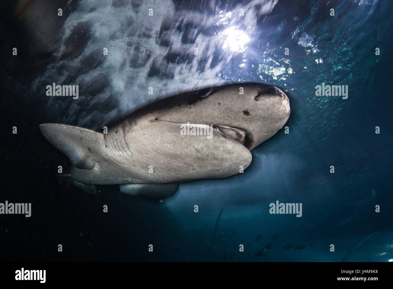 A Sevengill shark, Notorynchus cepedianus, swims in an aquarium where the public can view them up close. These relatively - Stock Image