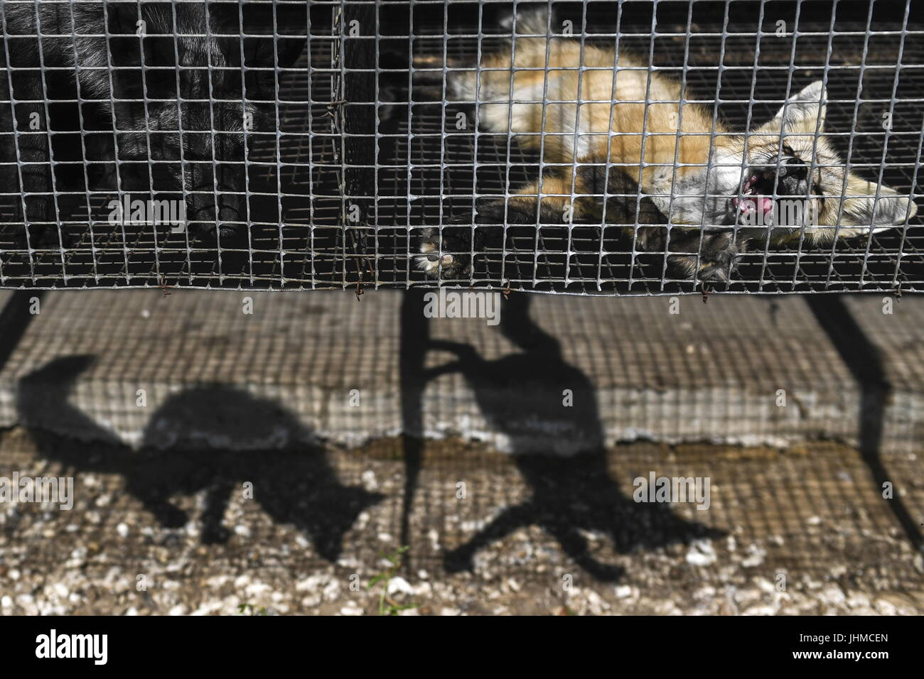 Novosibirsk, Russia. 14th July, 2017. Domesticated foxes seen in an enclosure at an experimental farm of the Institute Stock Photo