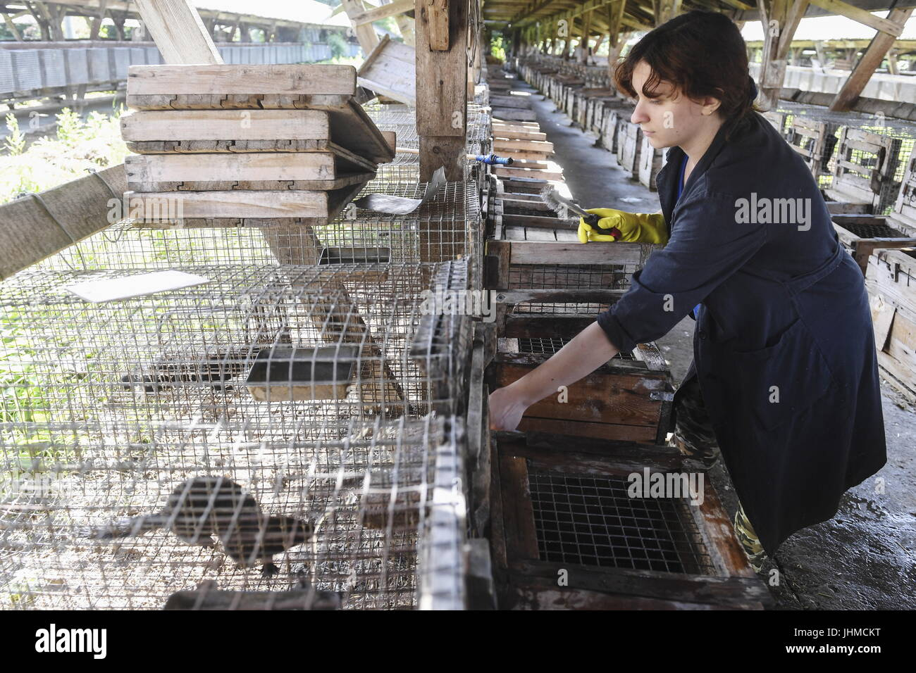 Novosibirsk, Russia. 14th July, 2017. An employee seen by an enclosure with domesticated minks at an experimental Stock Photo