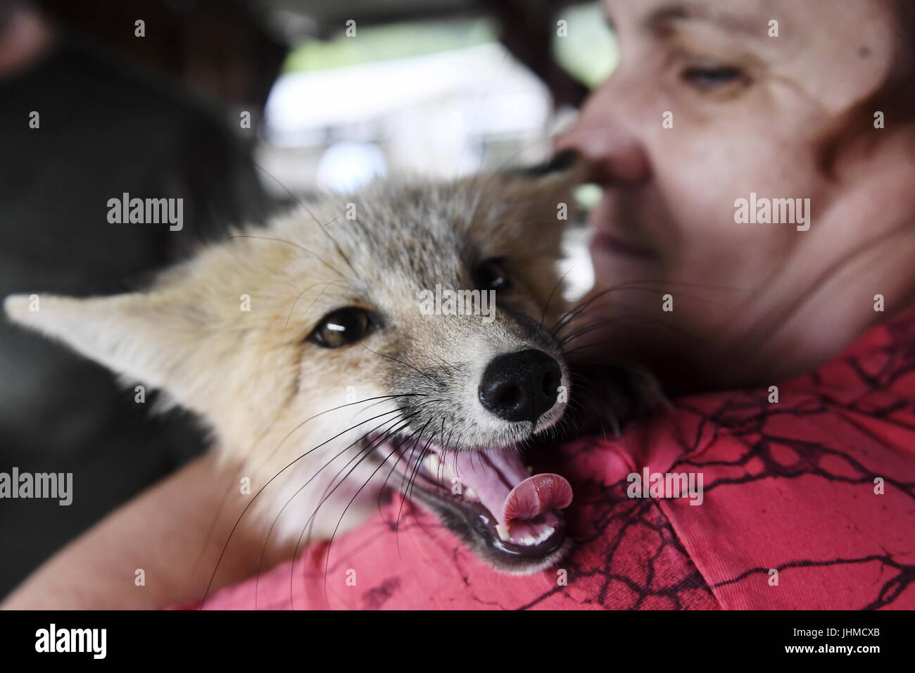 Novosibirsk, Russia. 14th July, 2017. An employee holds a domesticated fox at an experimental farm of the Institute Stock Photo