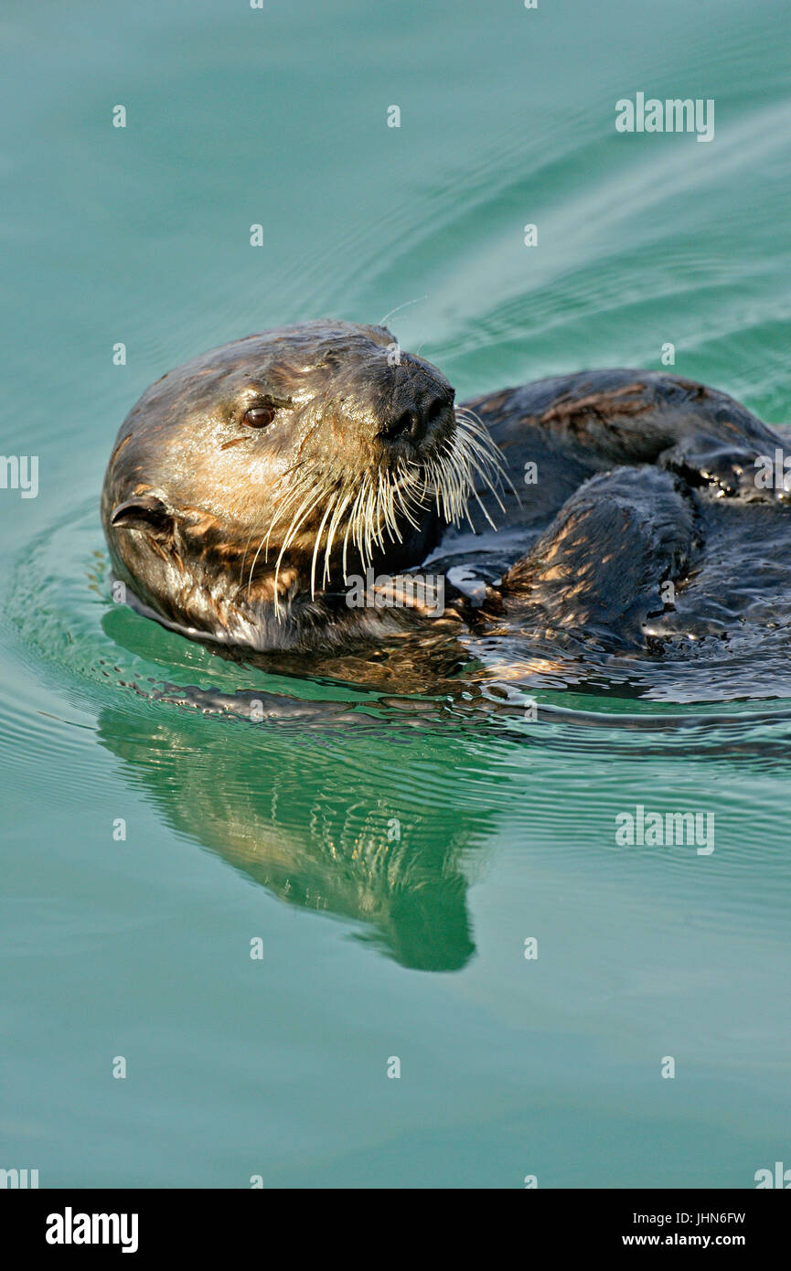 Sea otter (Enhydra lutris) Loafing and preening after feeding, Morro Bay, California, USA, Morro Bay, California, - Stock Image