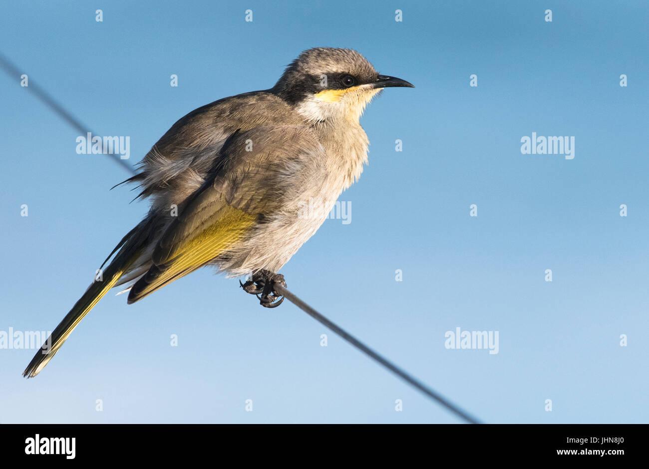Singing honeyeater (Gavicalis virescens), a common scrubland bird of Australia. - Stock Image
