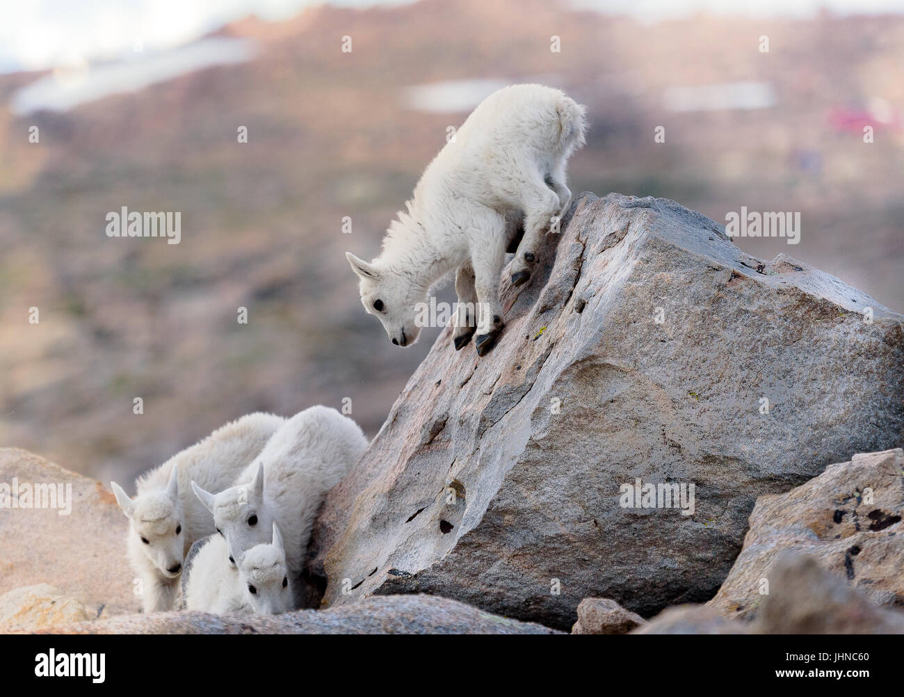 'Look out below!' Baby mountain goat try out their new rock climbing skills. - Stock Image
