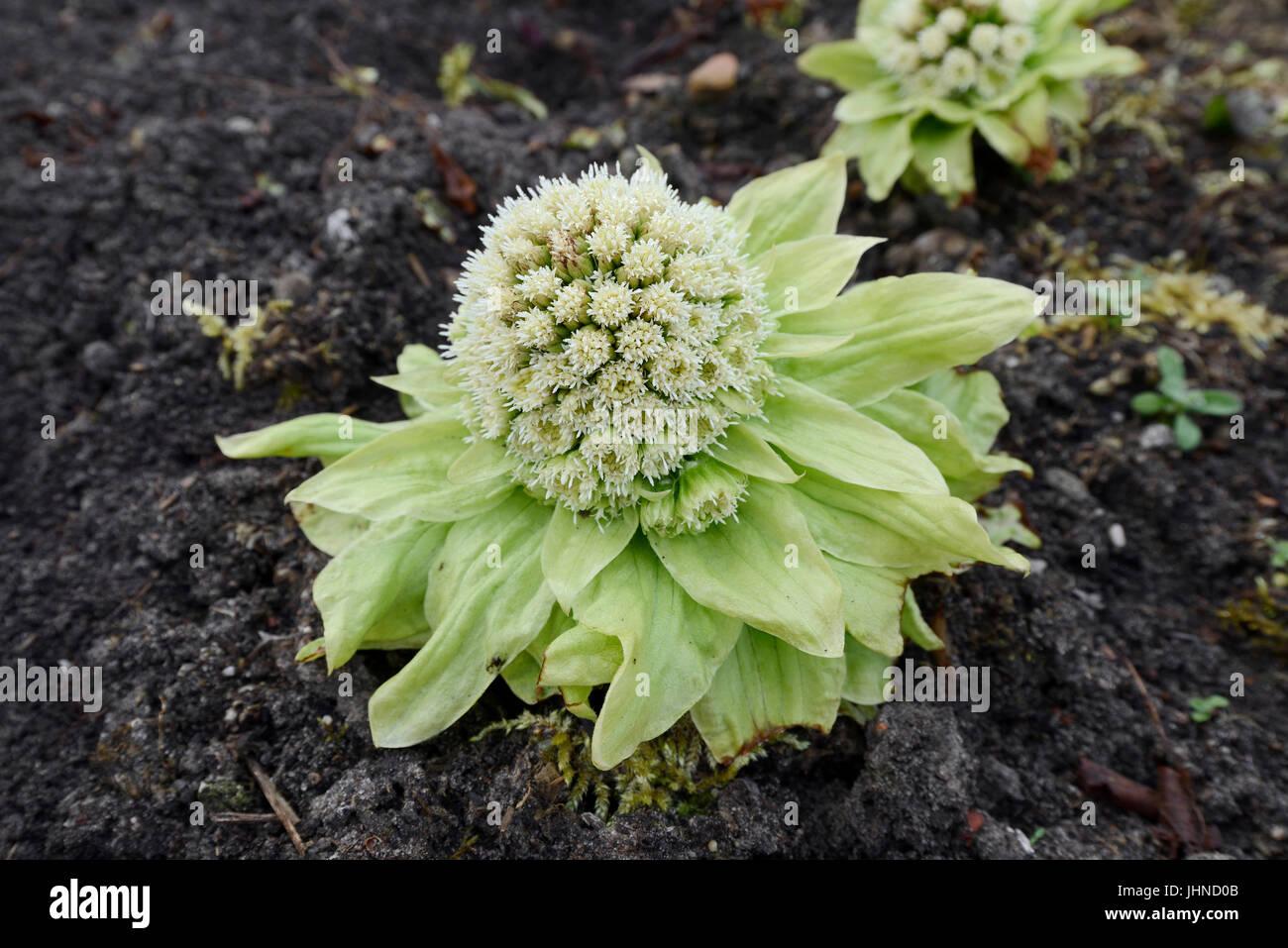 Japanese Butterbur / (Petasites japonicus) | Japanische Pestwurz oder Asiatische Pestwurz / (Petasites japonicus) - Stock Image
