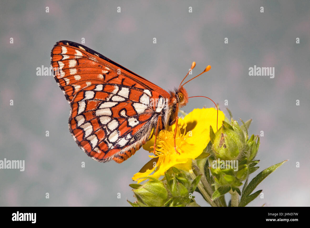 A Hoffmann's Checkerspot butterfly, Chlosyne hoffmanni, sipping nectar from a wildflower in the Oregon Cascades Stock Photo