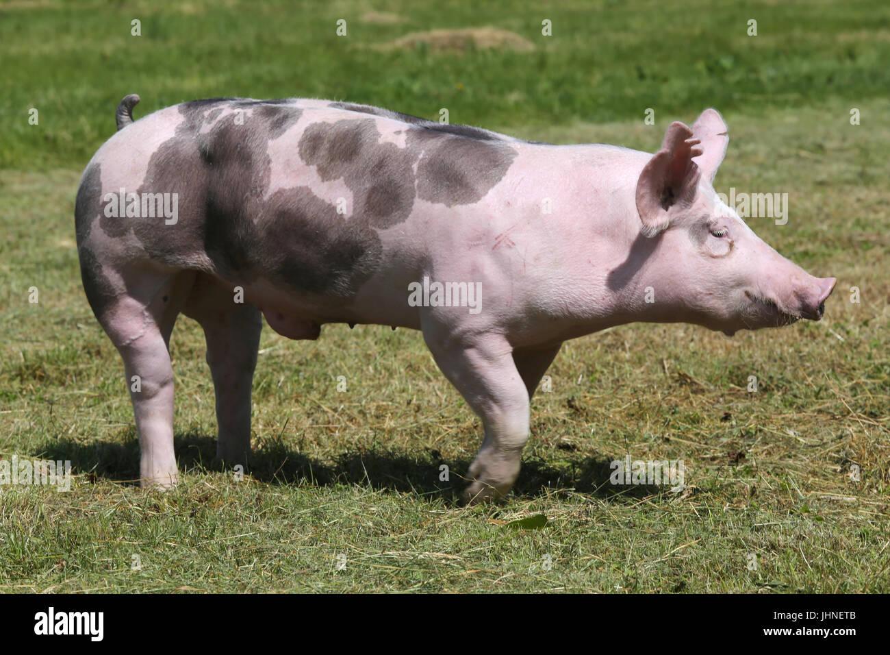 Piglets Sucking Man-pic2004
