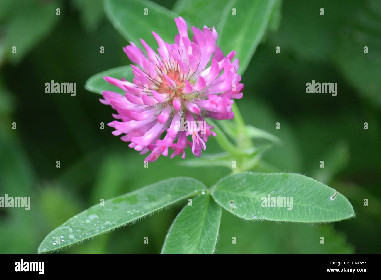 Purple Clover Flower Stock Photo 148604771 Alamy