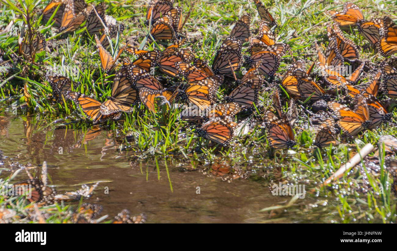 Monarch Butterflies drinking water in Michoacan, Mexico - Stock Image