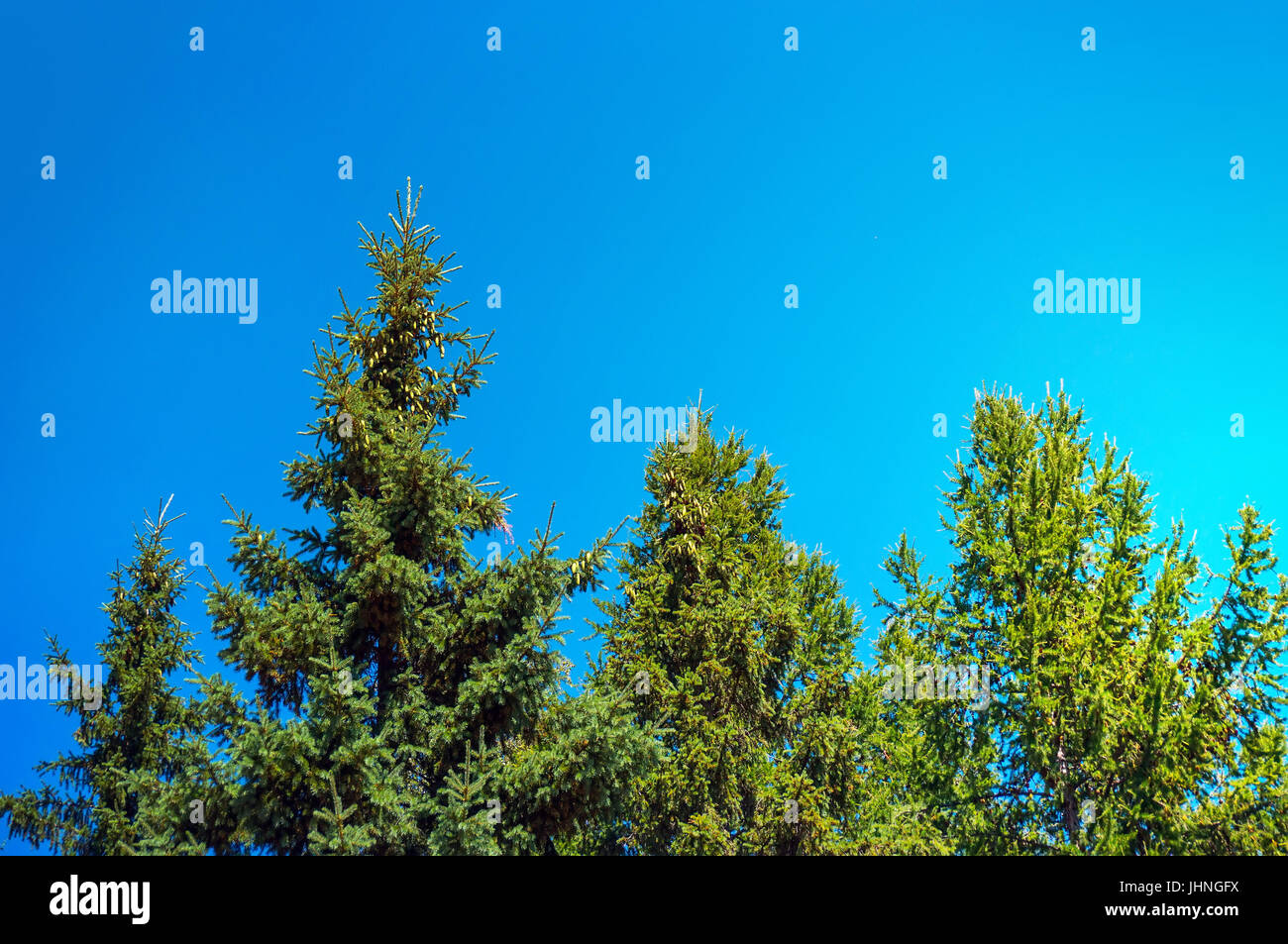 Spruce in the summer, spruce against the blue sky, pine - Stock Image