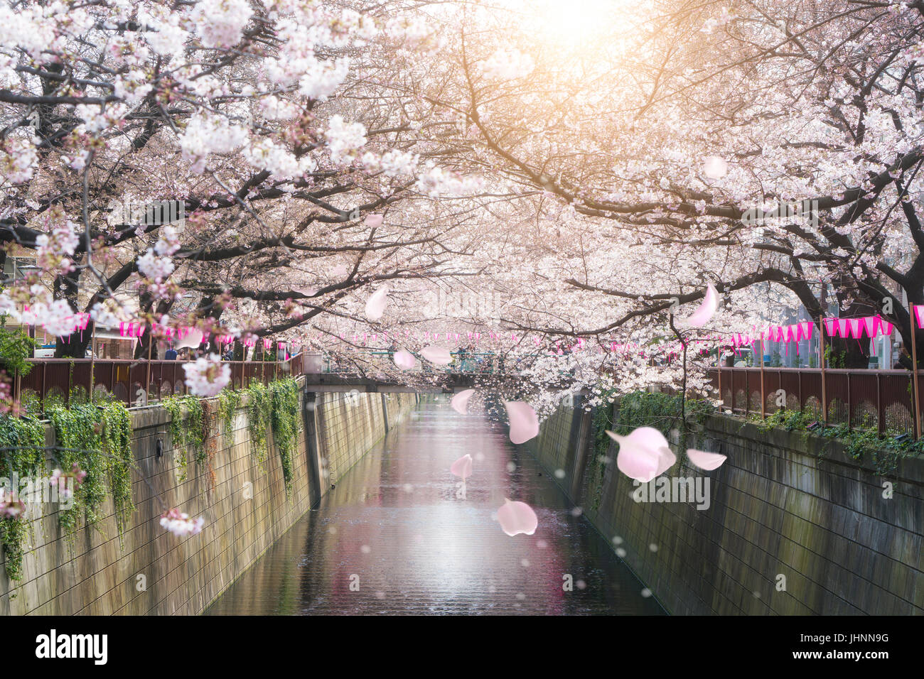 Cherry blossom lined Meguro Canal in Tokyo, Japan. Springtime in April in Tokyo, Japan. - Stock Image