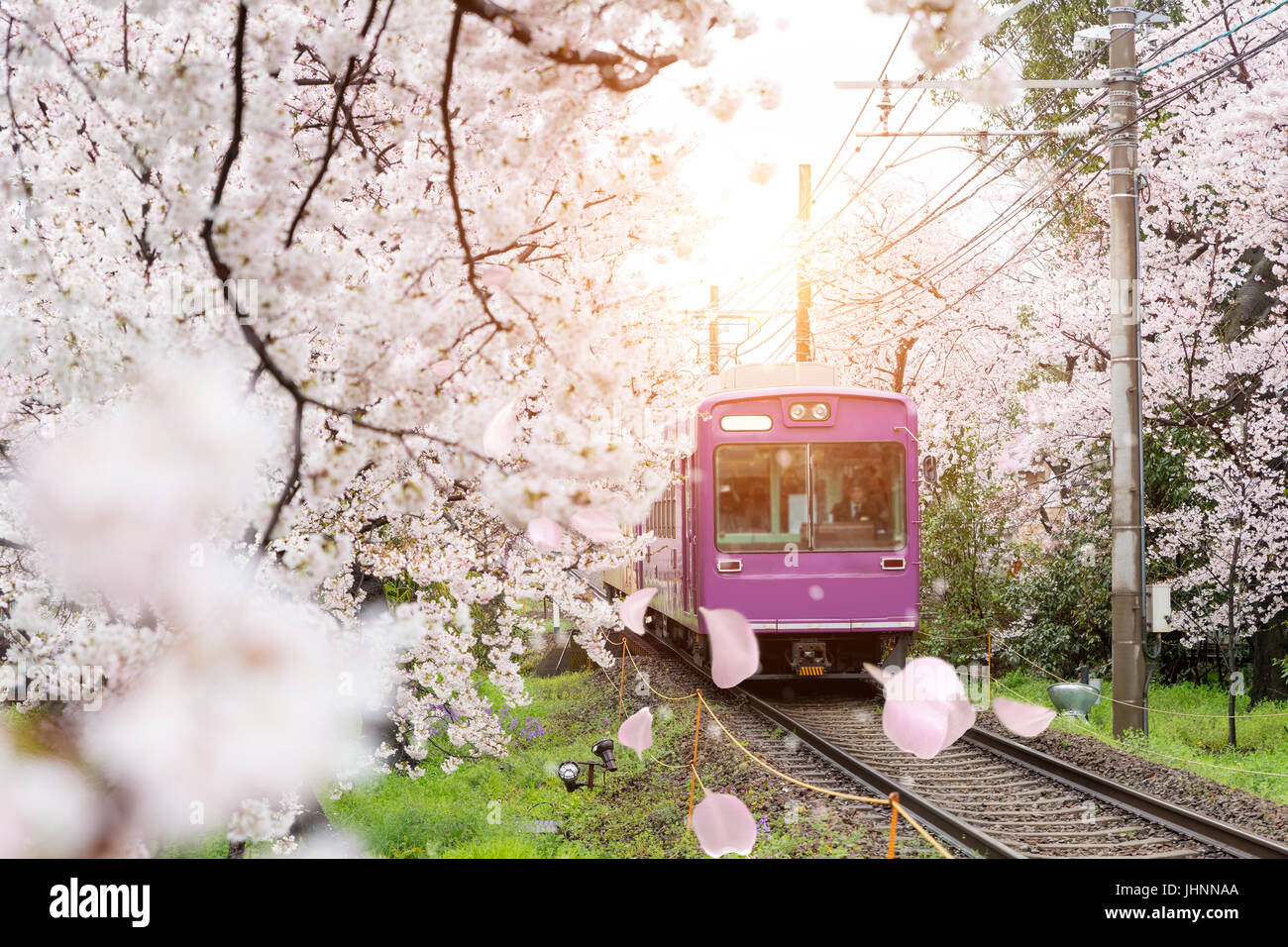 View of Kyoto local train traveling on rail tracks with flourishing cherry blossoms along the railway in Kyoto, - Stock Image