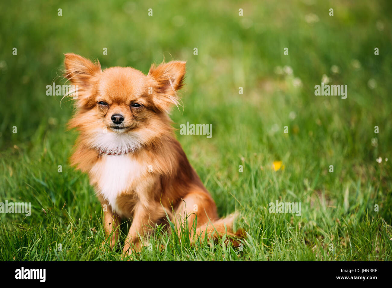Beautiful Funny Young Red Brown And White Chihuahua Dog Sitting On Fresh Green Grass. Summer Season - Stock Image