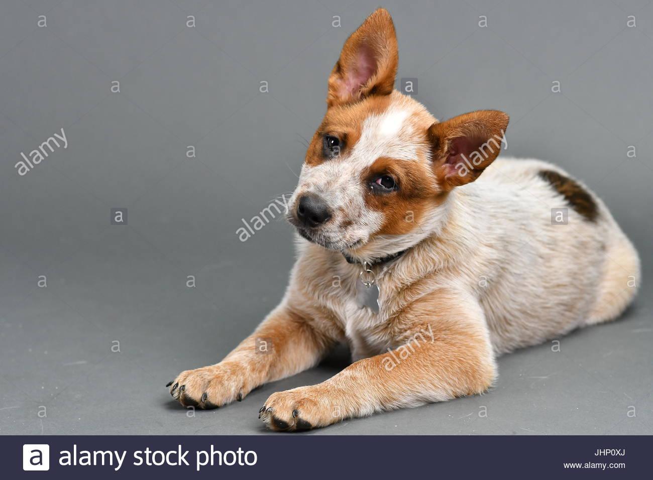 Australian cattle dog puppy on gray background - Stock Image