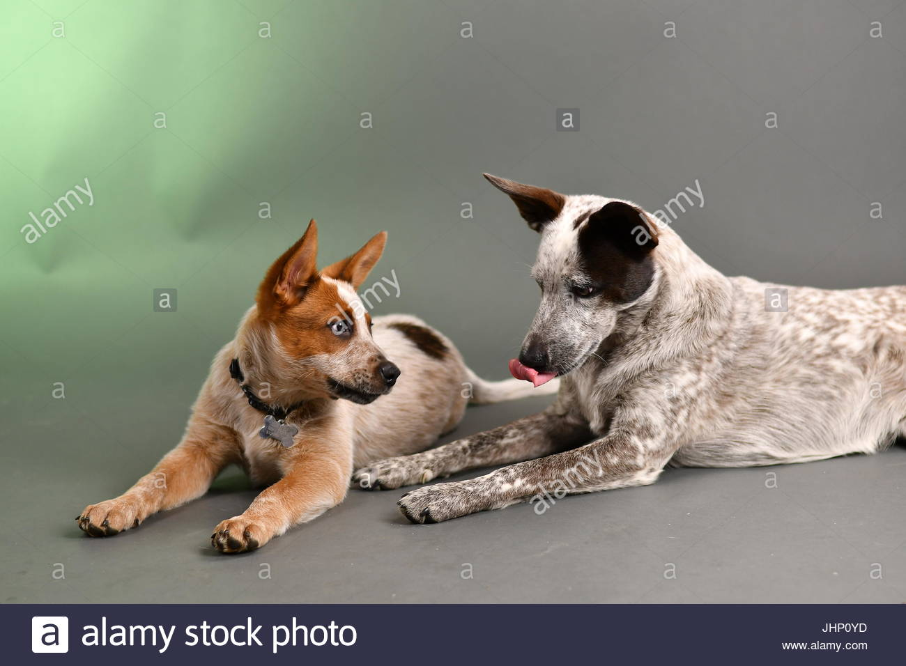 Australian cattle dogs in studio with green and gray background - Stock Image