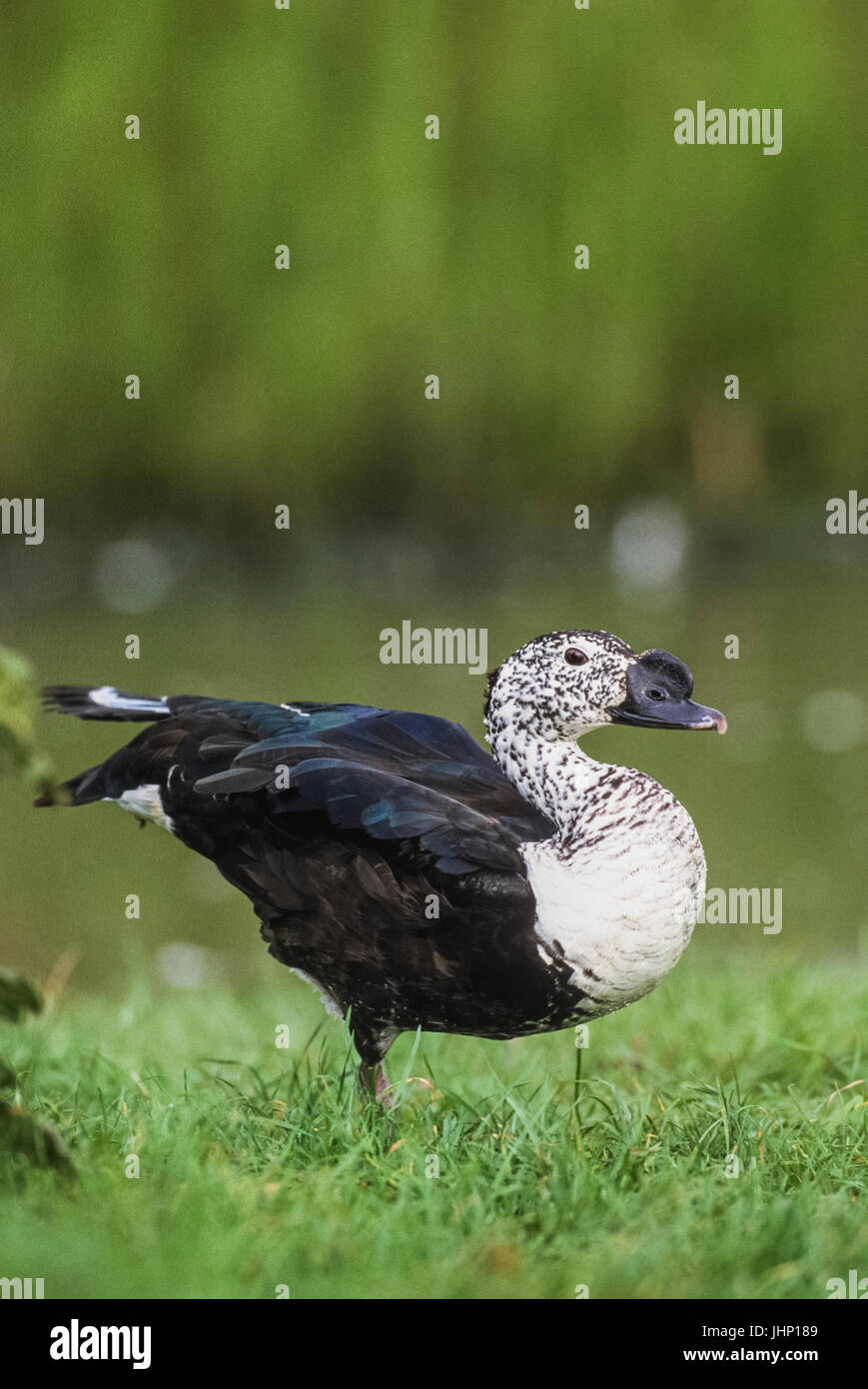 Knob-billed Duck, (Sarkidiornis melanotos), Keoladeo Ghana National Park, Bharatpur, Rajasthan, India - Stock Image