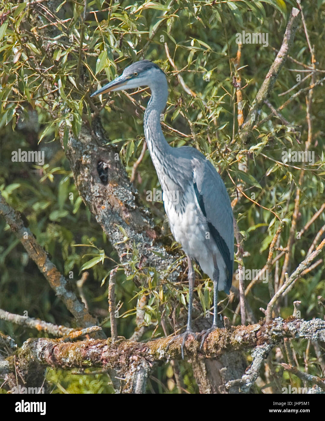 Grey Herons, Seaforth, Yarrow, + Cartmel Dam Stock Photo