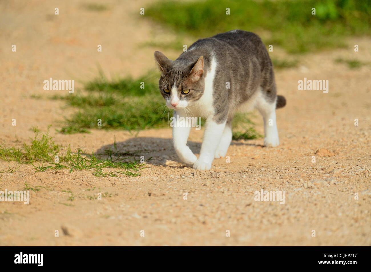 Domestic cat on the prowl, Rio Grande City, Texas, USA - Stock Image