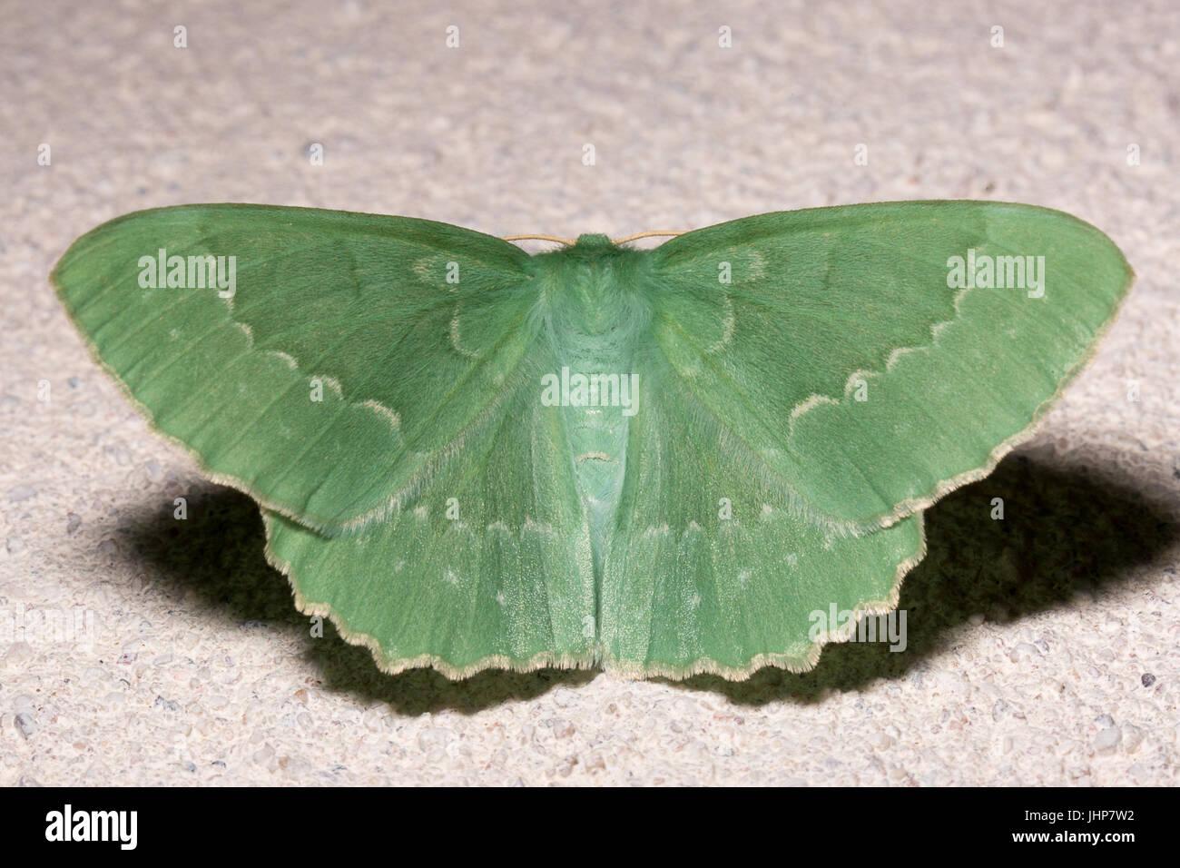 Large Emerald Moth Extremely Close Up. - Stock Image