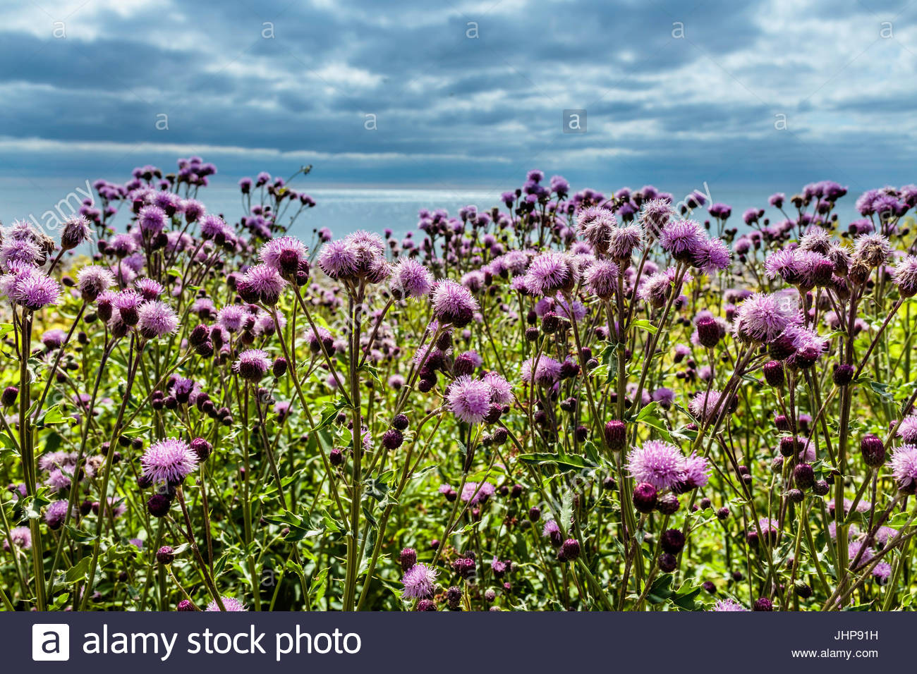 creeping thistle Canada Thistle Cirsium arvense flower wildflower Canadian Thistle California Thistle Corn Thistle - Stock Image