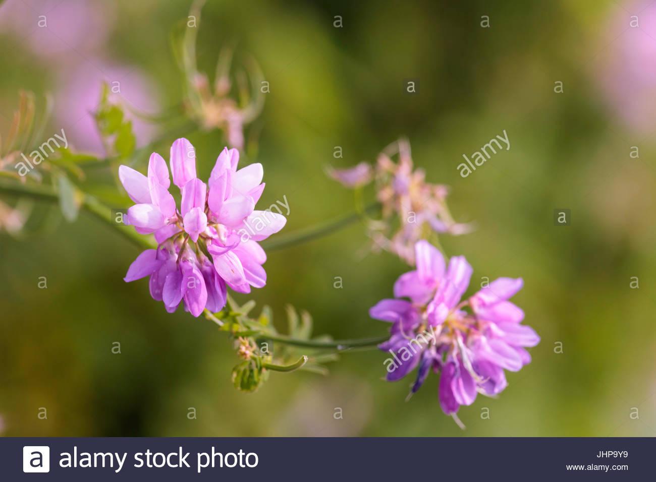 Purple flower crown stock photos purple flower crown stock images securigera varia coronilla varia crownvetch crown vetch axseed purple crown vetch ground cover flower wildflower izmirmasajfo