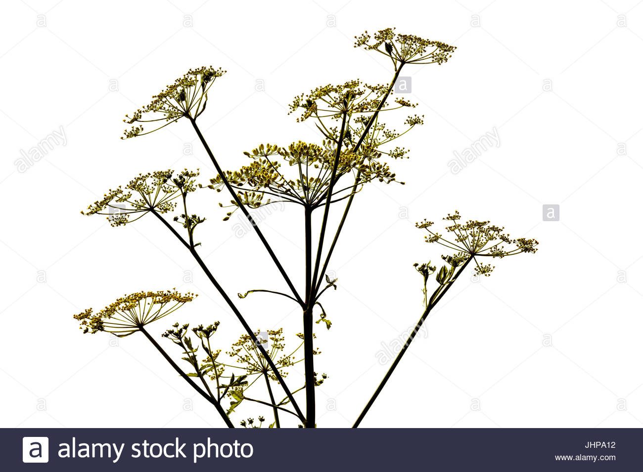 Heracleum maximum, cow parsnip Indian celery, Indian rhubarb pushki furocoumarins, cut out; cut outs; cut-out - Stock Image