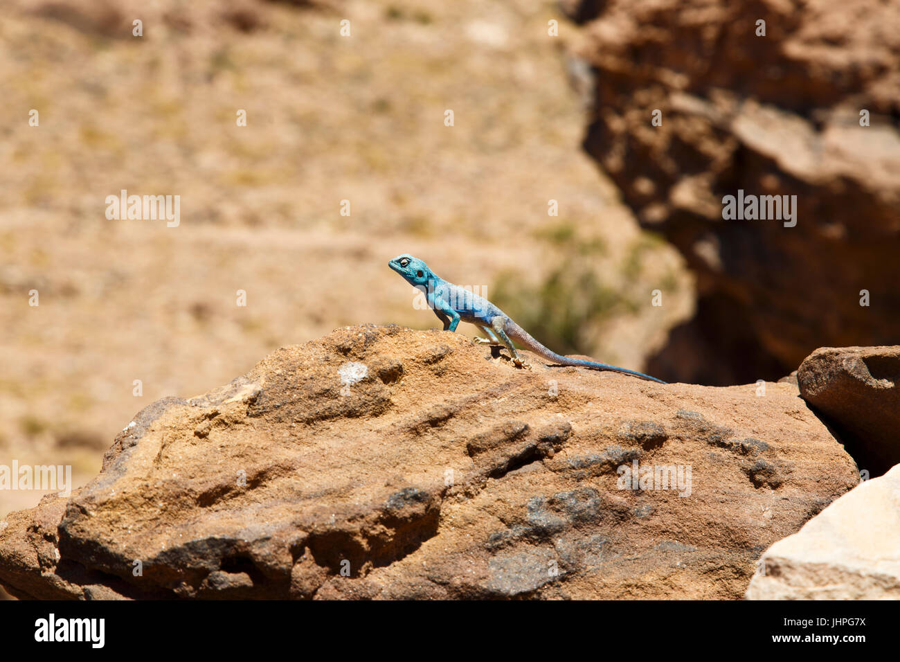 Blue Sinai lizard in Petra - Stock Image