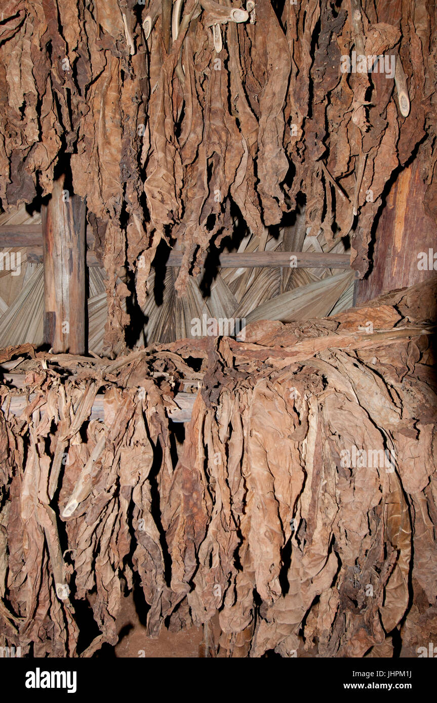 Drying Cuban tobacco leaves for cigars in a drying shed near Vinalles Cuba - Stock Image