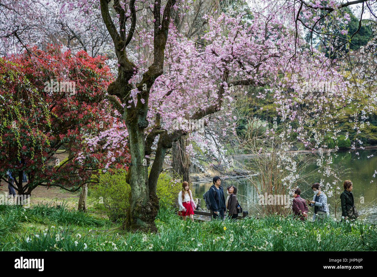 Tourists and sakura cherry blossoms in the Shinjuku Gyoen National Gardens in Tokyo, Japan, Asia. - Stock Image