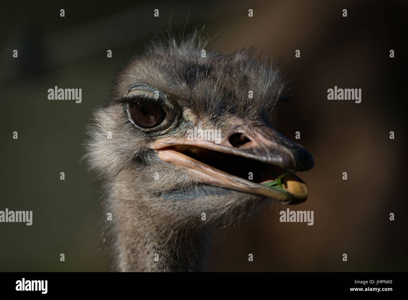 Close-up of head of ostrich chewing grass - Stock Image