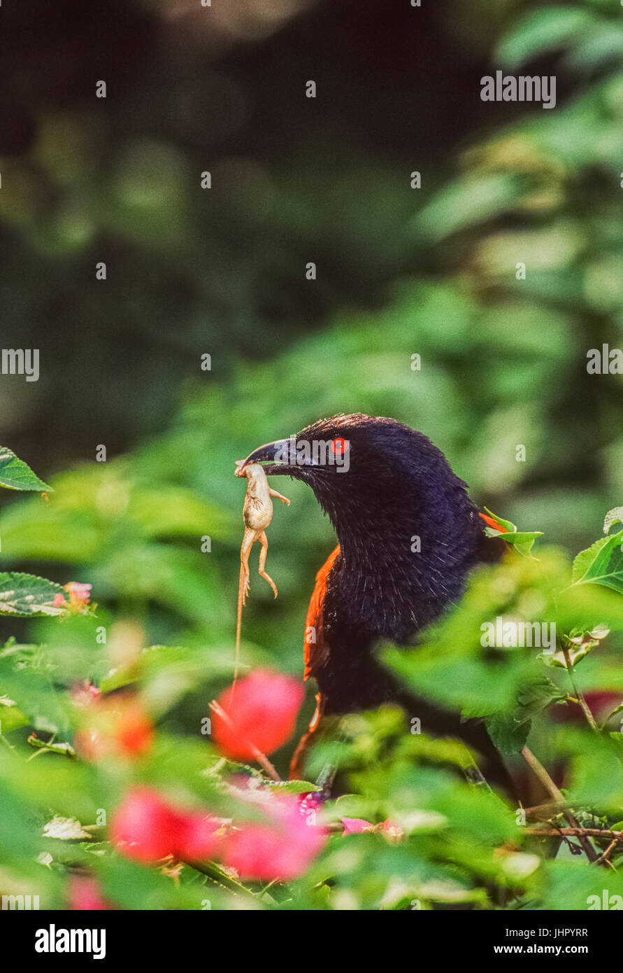 Greater Coucal, (Centropus sinenesis), with lizard prey, Keoladeo Ghana National Park, Bharatpur, Rajasthan, India - Stock Image