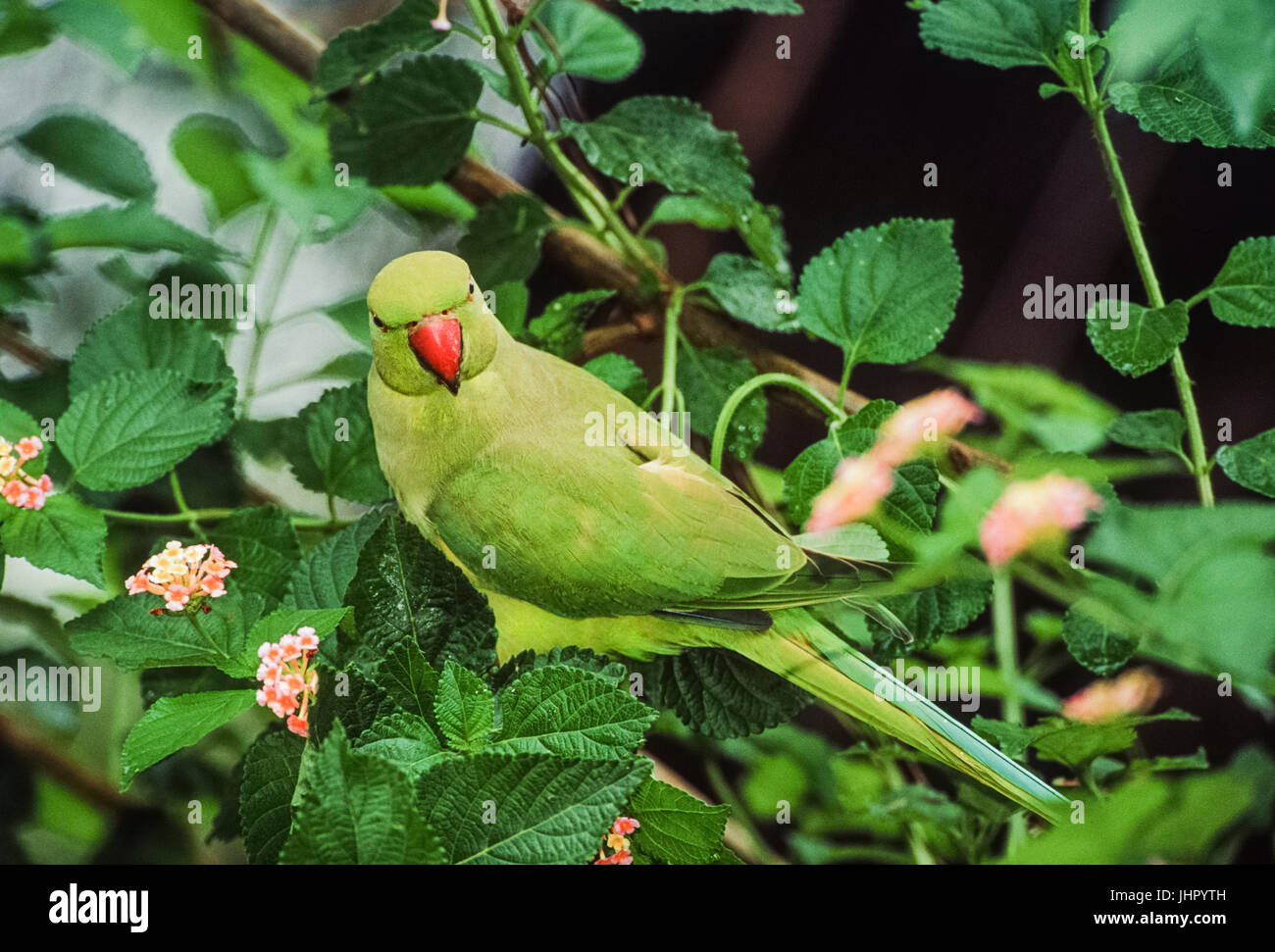Ring-necked or Rose-ringed Parakeet, (Psittacula krameri), London, United Kingdom - Stock Image