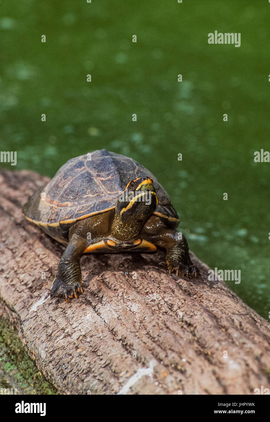 Crowned river turtle also known as  Brahminy river turtle, (Hardella thurjii), Keoladeo Ghana National Park, Bharatpur, Stock Photo