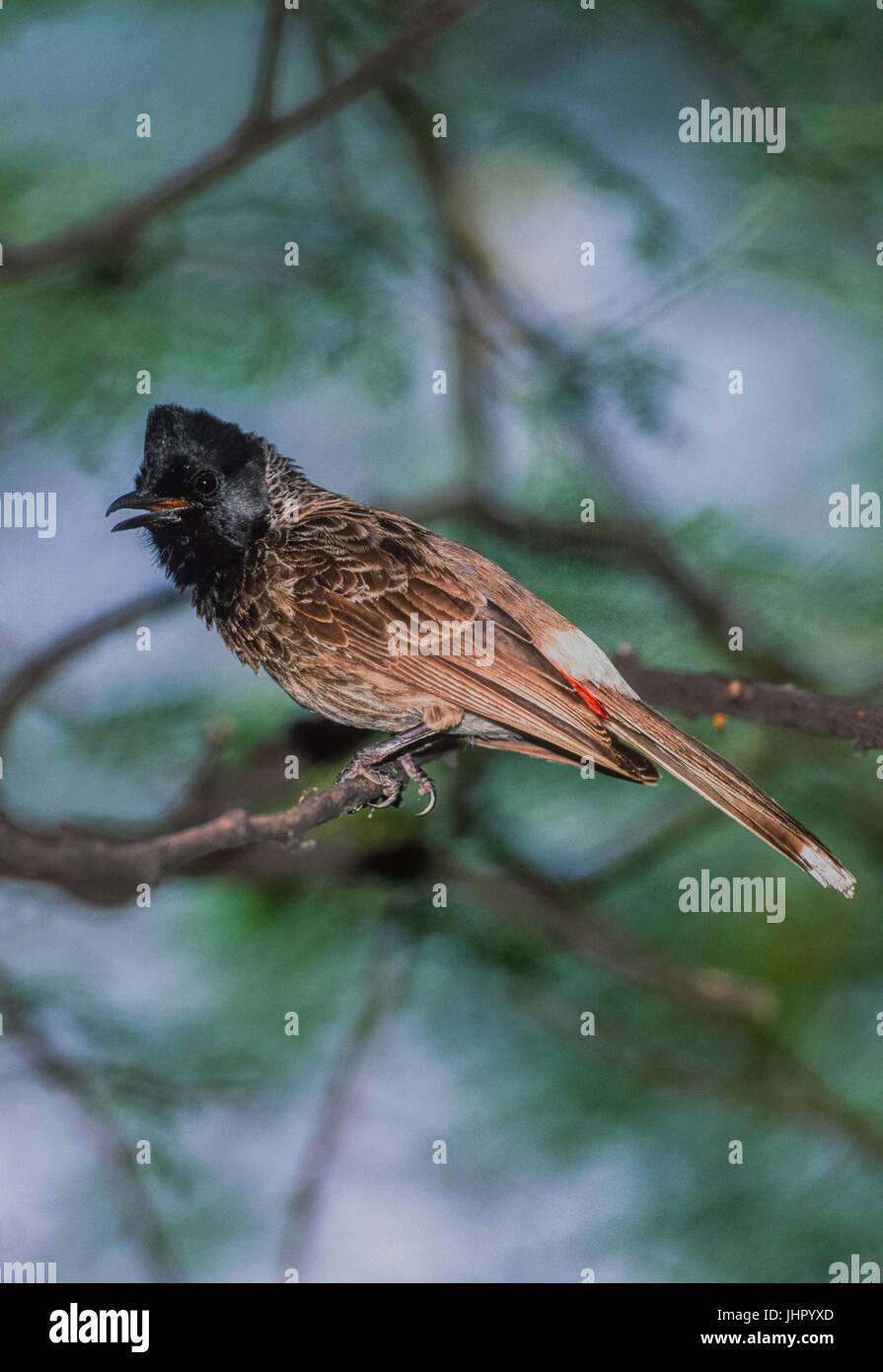 Red-vented bulbul, (red-vented bulbul (Pycnonotus cafer bengalensis), Keoladeo Ghana National Park, Bharatpur, Rajasthan, - Stock Image