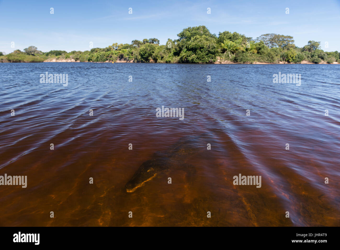 A caiman underwater on a Pantanal River Stock Photo