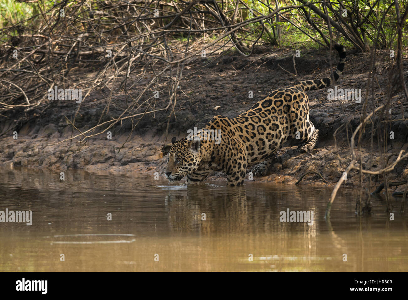 A male Jaguar entereing the water in the Pantanal Stock Photo