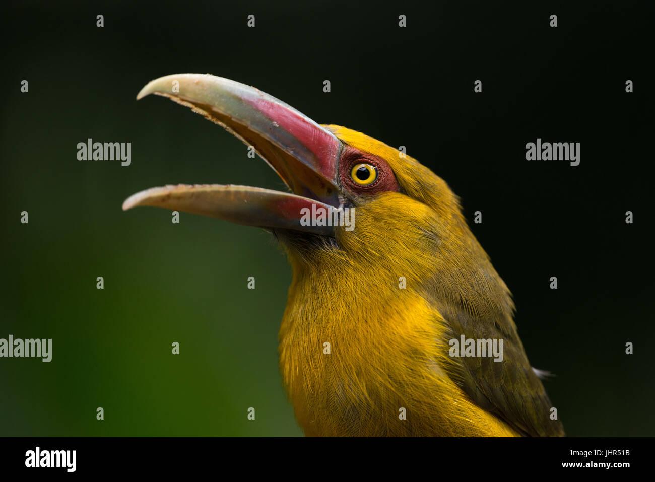 Saffron Aracari from the Atlantic Rainforest Stock Photo