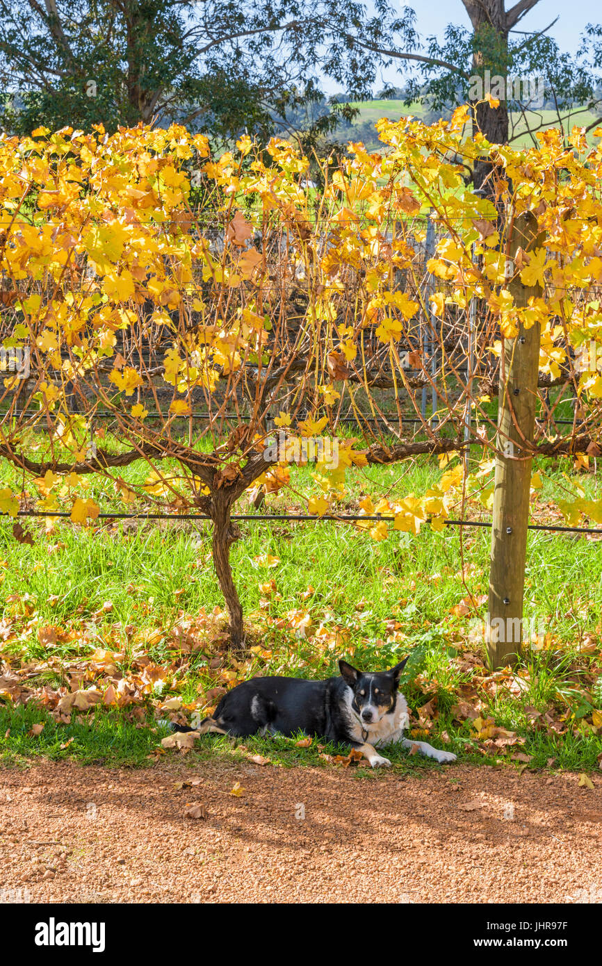 Dog resting under grapevines at St Aidan Wines boutique winery and cafe in the Ferguson Valley near Dardanup, Western - Stock Image