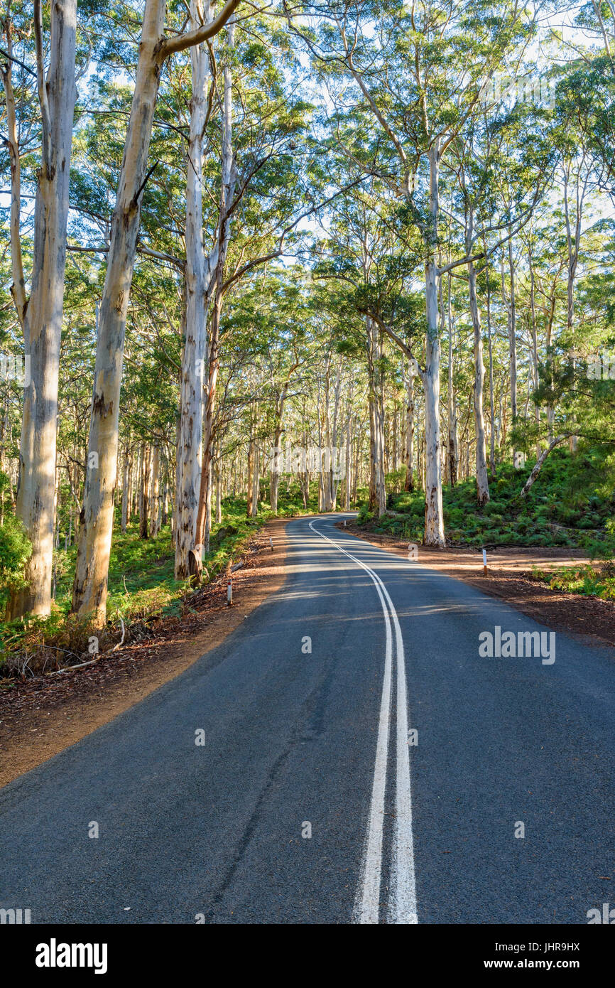 Winding Caves Road through the tall trees of the Boranup Karri Forest in Leeuwin-Naturaliste National Park, Margaret - Stock Image