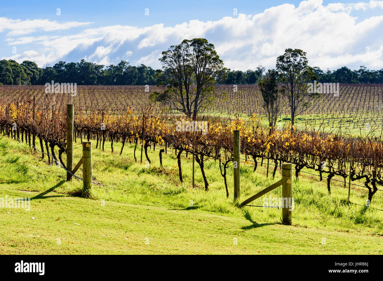 Winter vines at Aravina Estate winery in the Margaret River region of Western Australia, Yallingup, Australia - Stock Image