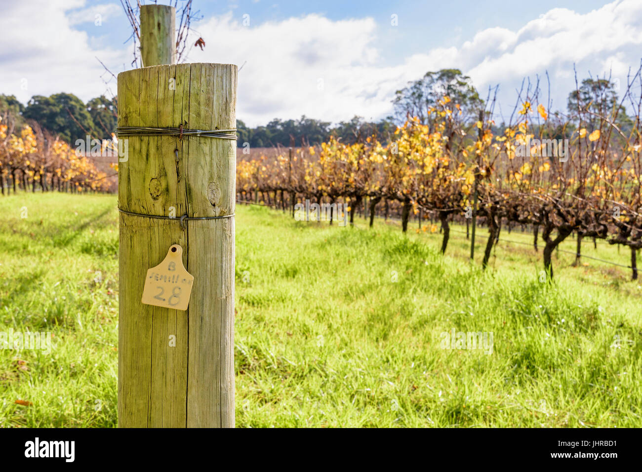 Rows of Semillon grapevines in winter at Aravina Estate winery in the Margaret River region, Yallingup, Western - Stock Image