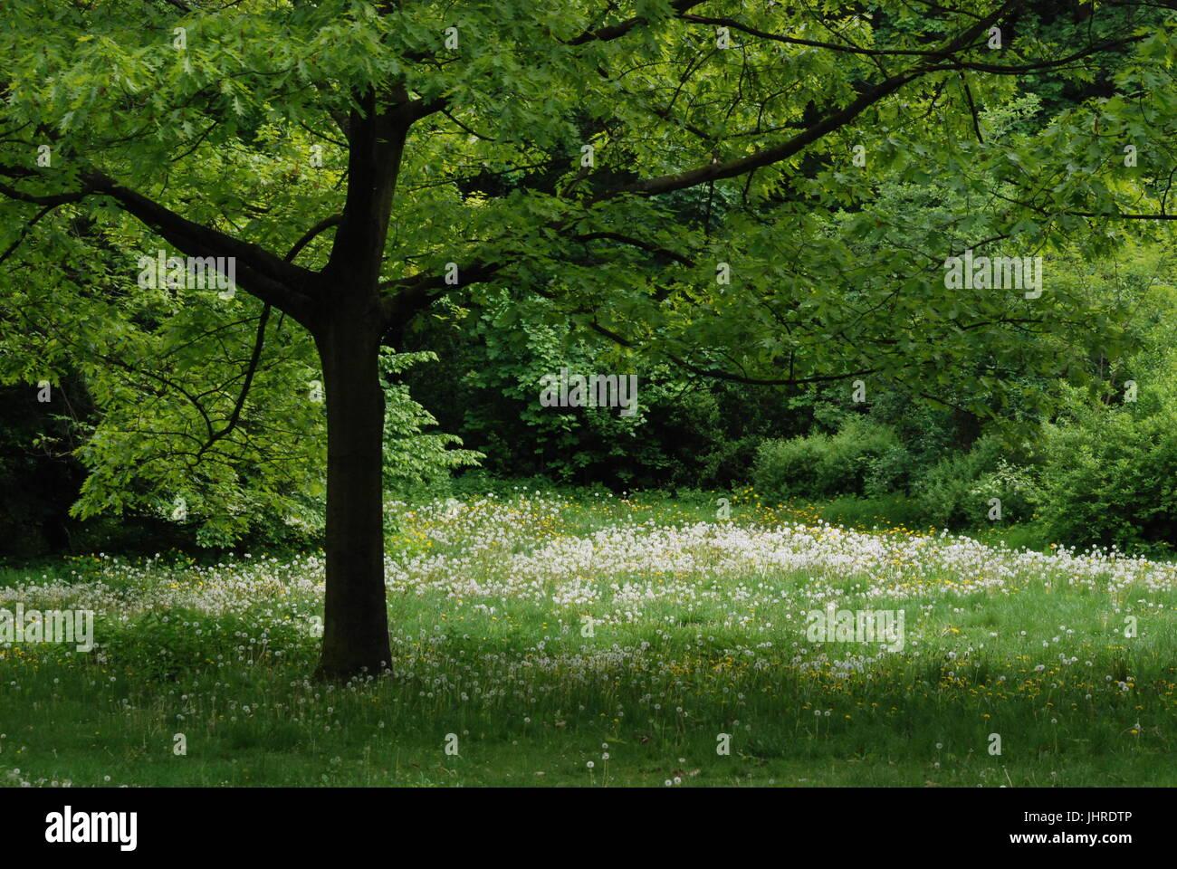 Dandelion (Pusteblume) in Goethe Park in Berlin-Wedding on May 8, 2012, Germany - Stock Image