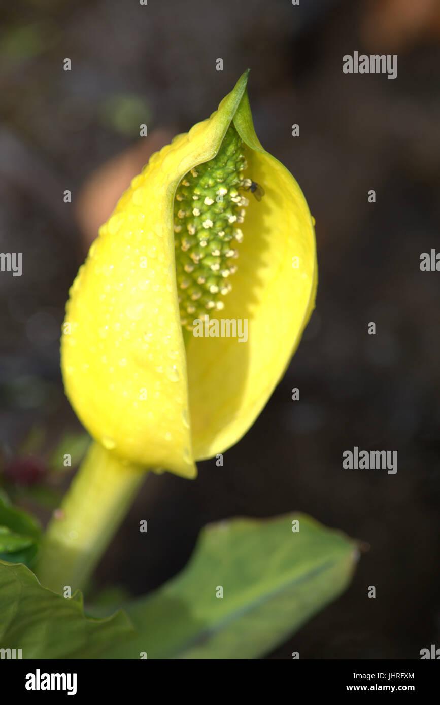 Arum maculatum - Stock Image