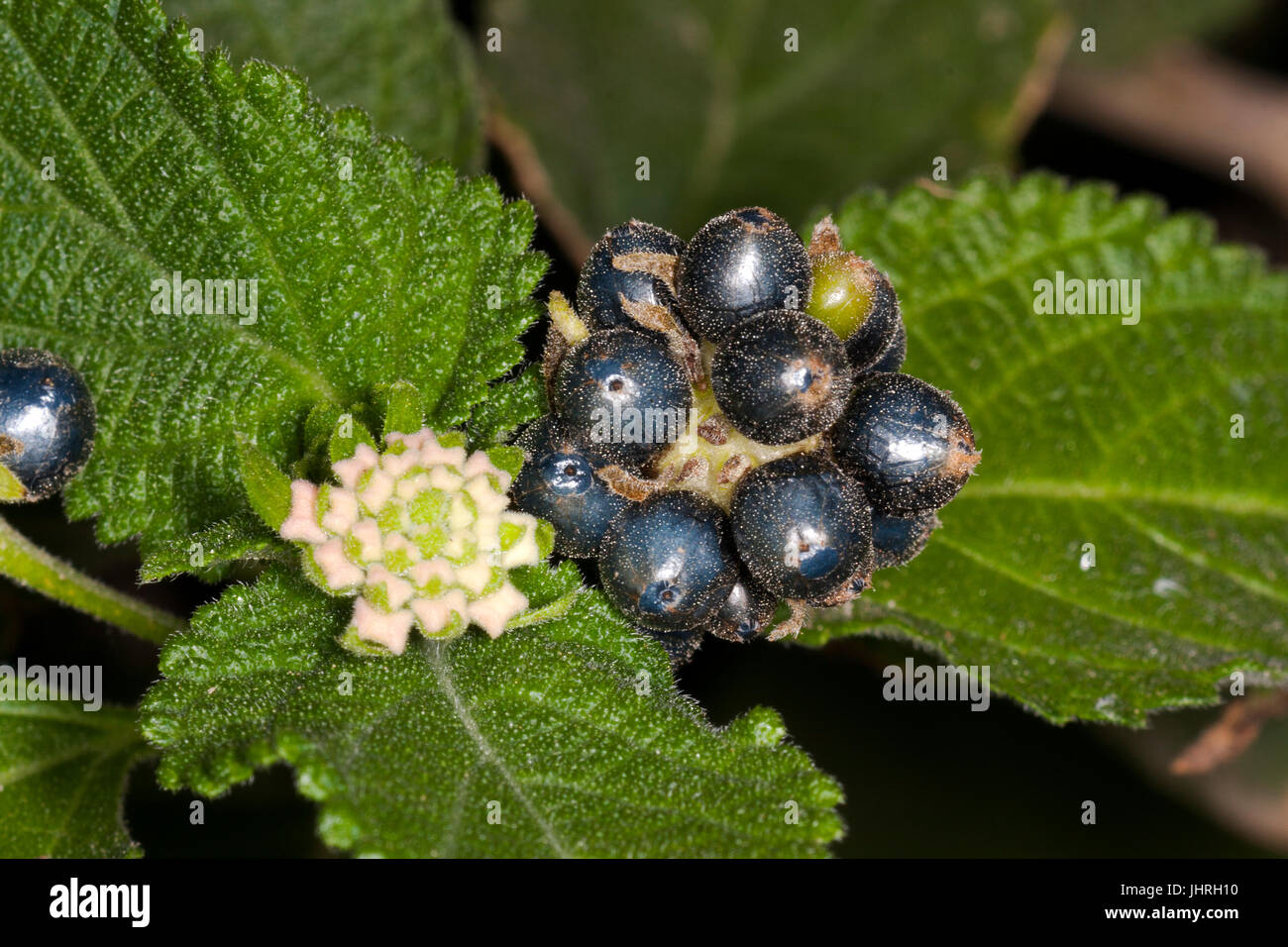 Lantana seeds and buds - Stock Image