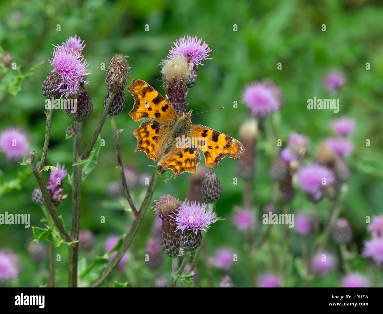 Comma Butterfly Polygonia c-album Stock Photo