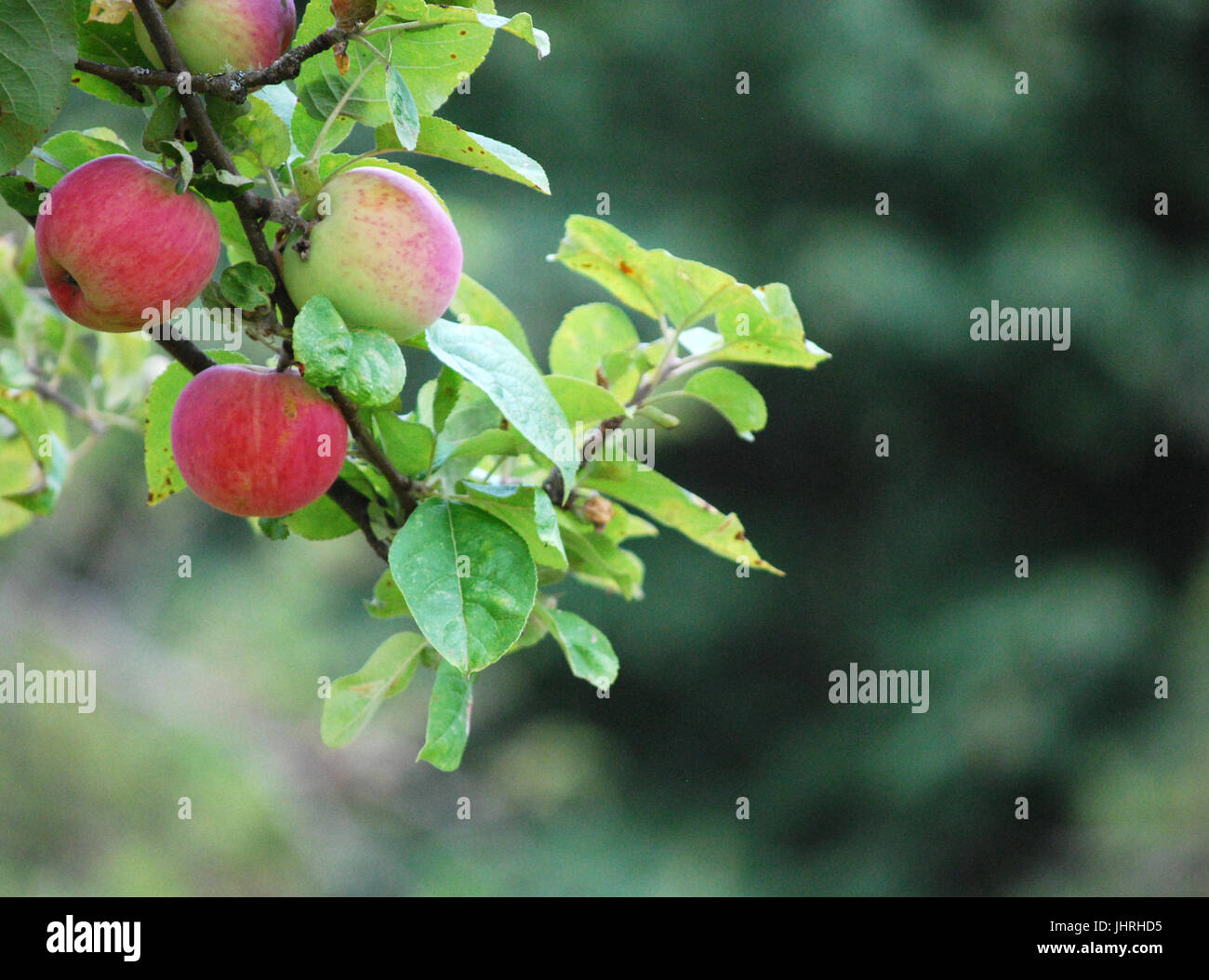 Apple Trees in the orchard at Johnson Farm, Bainbridge Island, WA. USA - Stock Image