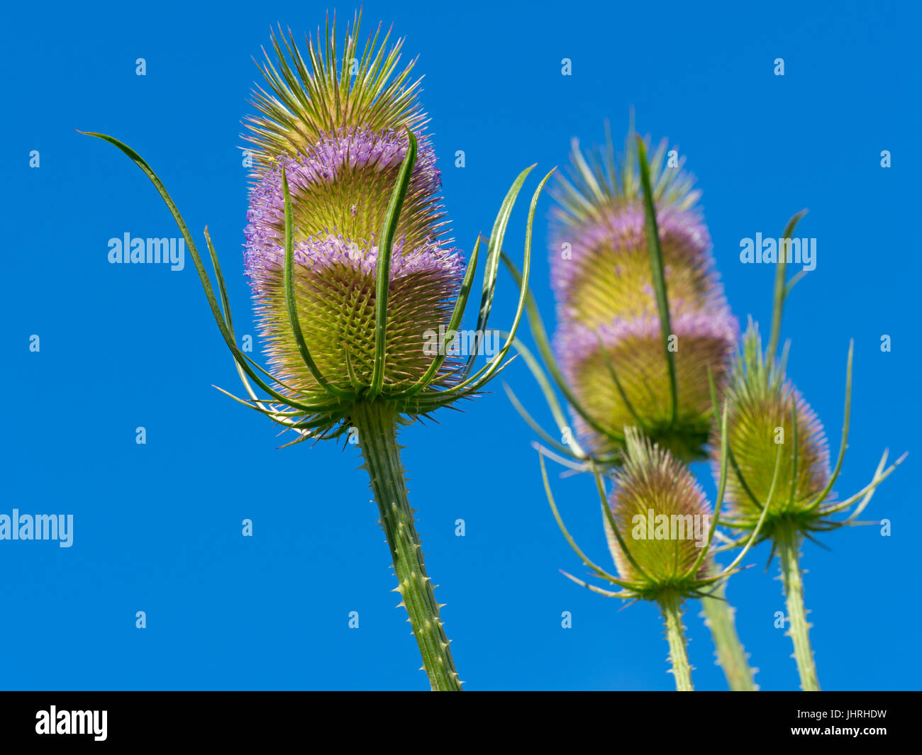 Teasal Dipsacus fullonum in flower against a blue sky - Stock Image