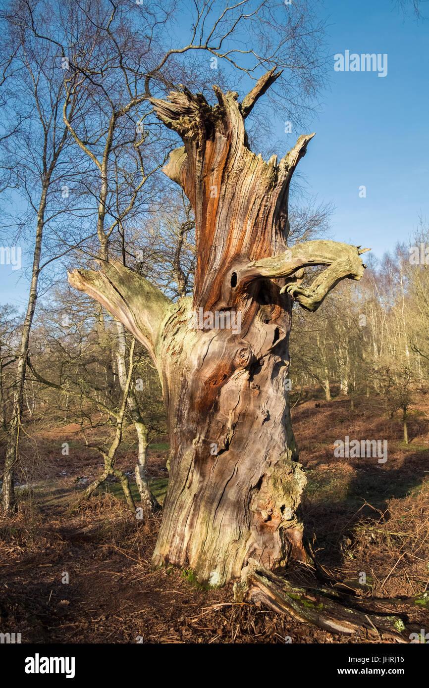 Dead tree trunk, Sherwood Forest, Nottinghamshire, East Midlands, UK - Stock Image