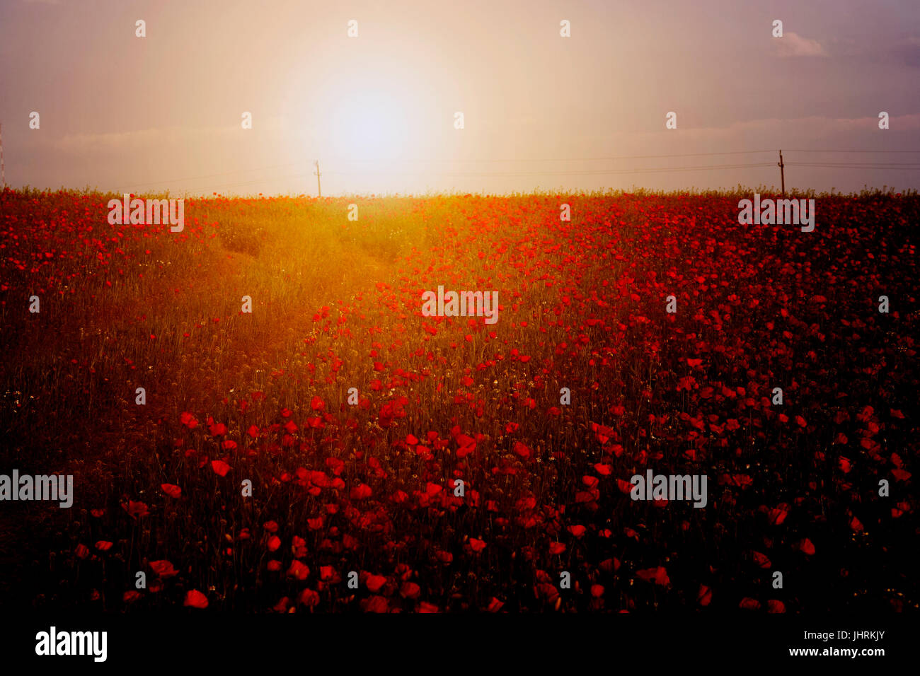 Poppy field in sunset - Stock Image