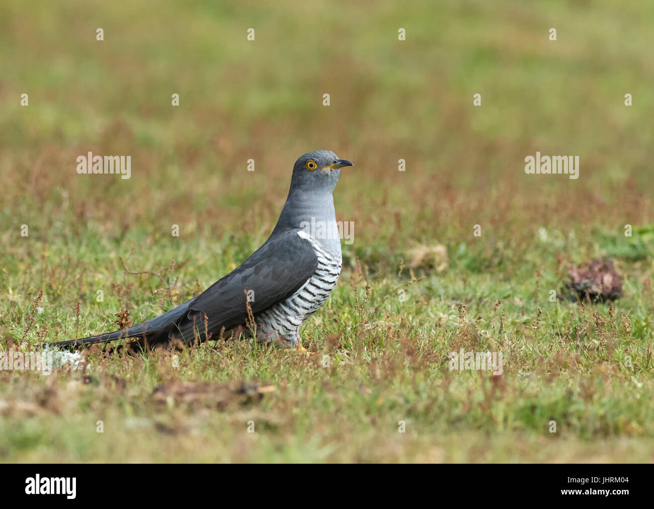 Adult Male Cuckoo perched on ground - Stock Image