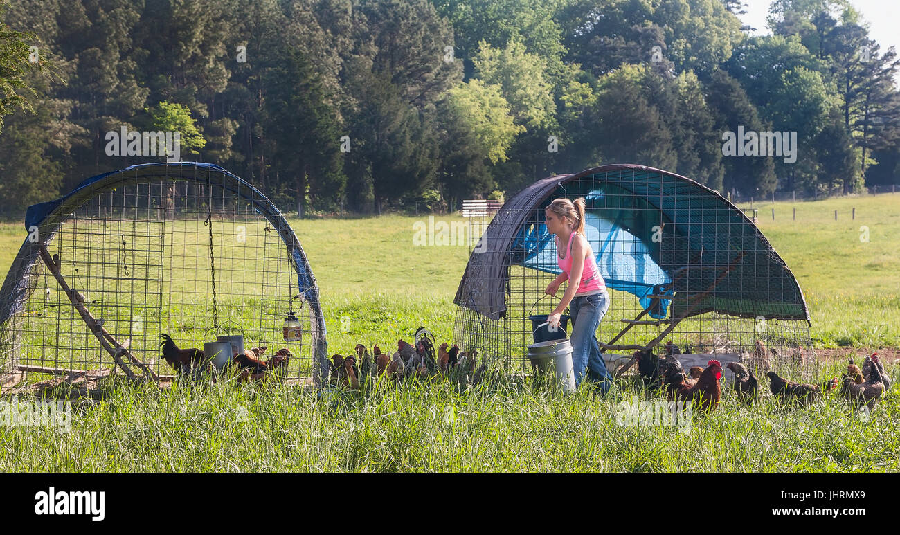 Young woman holds bucket of feed for hens,movable hen houses for grazing rotation - Stock Image